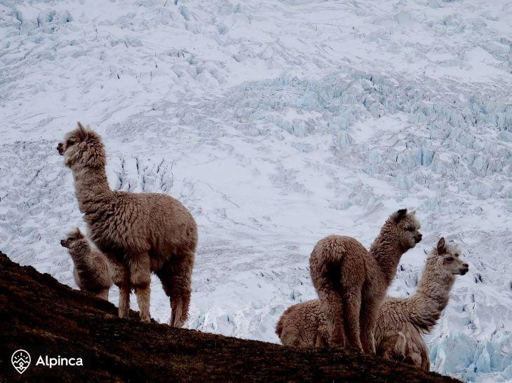 ausangate-cusco-lama