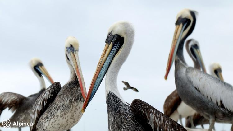 paracas-3peru-alpinca-wycieczka