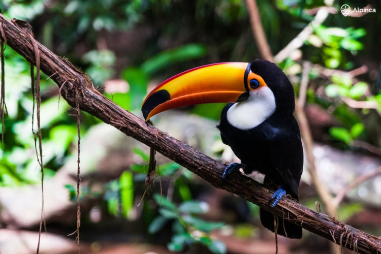 Tukan w Parque das Aves